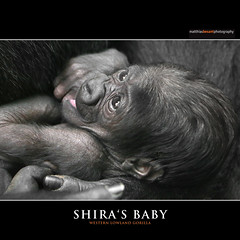 SHIRA'S BABY (Matthias Besant) Tags: affe affen affenblick affenfell animal animals ape apes fell hominidae hominoidea mammal mammals menschenaffen menschenartig menschenartige monkey monkeys primat primaten saeugetier saeugetiere tier tiere trockennasenaffe primates querformat gorilla baby zoo zoofrankfurt shira mother mutter matthiasbesant hessen deutschland