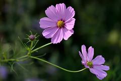 Cosmic Dancers (Eddie C3) Tags: wavehill flowergarden botanicalgardens bronx bronxnewyork riverdale flowers cosmos purple