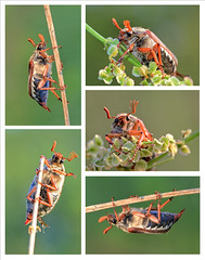 Meikever (Melolontha melolontha) (Fred Christoffels) Tags: nature natuur natur macro animal animals outdoor insect insects insecten spring 2016 mei meikever melolonthamelolontha canon canon60d canoneos60d sigma sigma70mmf28exdgmacro flyingbeetle green maikfer field flora fauna