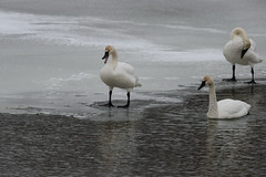 Swans_40821.jpg (Mully410 * Images) Tags: winter snow cold bird ice birds birding swans fowl waterfowl birdwatching birder trumpeterswans minnesotariver burdr mrvnwr minnesotarivervalleynationalwildliferefuge