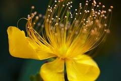 Waving in a breeze (Masa_N) Tags: flower yellow hypericummonogynum