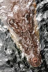 Wildlife Sydney Zoo - #9 (Christopher Yardin) Tags: zoo reptile sydney crocodile australianwildlife saltwatercrocodile