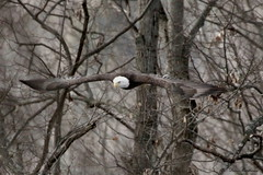 Bald Eagle (Diane Marshman) Tags: winter brown white black tree spread flying eagle head branches tail flight wing feathers bald diane marshman in