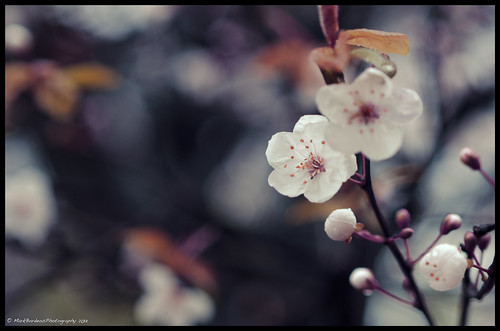 """My heart that was rapt away by the wild cherry blossoms - will it return to my body when they scatter?"""
