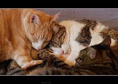 Stanley + Harry + Bruno showing what to do at a cloudy wet Sunday (No_Water) Tags: sleeping cute cat ginger tiger