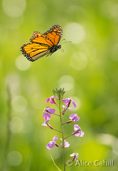 On the Wing (alicecahill) Tags: california ca wild usa nature beautiful animal butterfly insect outdoors happy hope flying spring colorful pretty bright free tranquility harmony monarch lovely centralcoast pure slocounty fragility