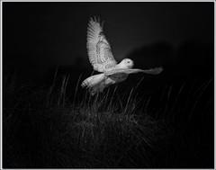IMG_5386_Snowy Owl B & W (old 41) Tags: elementsorganizer