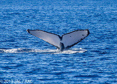 Pacific Humpback (slice48666) Tags: hawaii unitedstates mother maui whale whales humpbacks humpback calf juvenile whalewatch lahaina breaching fluke whalewatching breach kaanapali breaches
