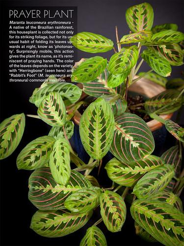 green prayerplant herringbone maranta leuconeura marantaleuconeura erythroneura marantaleuconeuraerythroneura