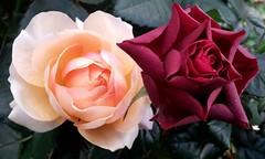 Si proches et si différentes...... (Daniel.35690) Tags: rose fleurs rouge telephone bretagne saumon betton 2013 illevilaine satinée samsunggti9100p