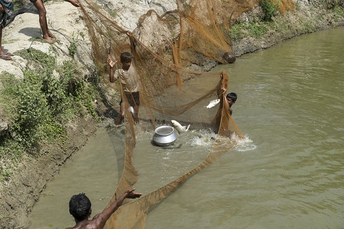 Harvesting fish from a hatchery in Hazipur, Bangladesh. Photo by Finn Thilsted, 2012.