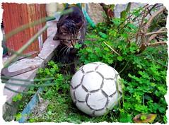 Gatto scommesse. (RoLiXiA) Tags: sardegna cat chat sardinia felino gatto nero micio sardaigne pallone feliscatus elmas gattoeuropeo nikond90