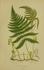 Anglų lietuvių žodynas. Žodis long beech fern reiškia ilgą buko paparčio lietuviškai.