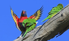 Rainbow Lorikeet : May I join you ? ? ? (Clement Tang ** busy **) Tags: morning autumn nature wildlife australia bluesky victoria landing rainbowlorikeet trichoglossushaematodus closetonature concordians candlebarkpark