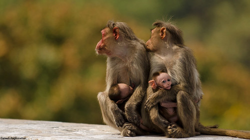 Bonnet Macaque by Ganesh raghunathan, on Flickr