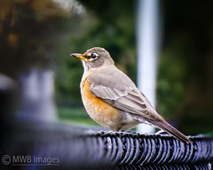 Focus Point Of A Robin (mwbergeron01) Tags: bird robin rain raindrops americanrobin