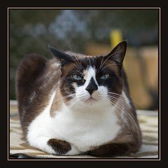 Lisa (No_Water) Tags: blue brown white cute cat snowshoe eyes lisa schwarz besch hganimalsonly