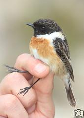Tarabilla Comn (Elas Gomis) Tags: aves alicante ringing birs saxicolatorquatus tarabilla anillamiento eliasgomis
