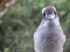 Heres looking at you kid // Schau mir in die Augen Kleines // (Palmou) Tags: portrait bird nature face eyes sony australia centralcoast kookaburra vogel schnabel nativebird sonyhx100v