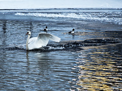Power of a swan (Vidar Ringstad,Skedsmo) Tags: blue winter white snow black cold bird ice water birds norway swim canon eos mirror norge frozen is duck vinter swan wings bath europa bade norwegen 7d scandinavia fugl vann bader sn speil bl vidar svart vinger refleks skandinavia kaldt hvit svane vestfossen frst frossen svmmer ringstad mygearandme