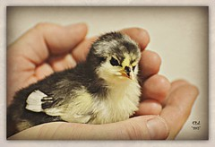 Baby dinosaur (for Galina Bogun) (ihatefog) Tags: chicken chick feedstore australorp babyanimals