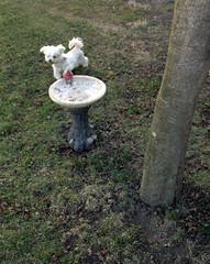 Underneath 03-09-13 (MelenaMe) Tags: dog tree nature fountain grass outdoors newjersey nj birdfeeder underneath maltese doggie
