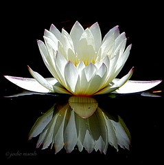 Waterlily reflection (frangipanica) Tags: white reflection pond waterlily australia nymphaea floraandfauna simplyflowers beautifulblossoms asingleflower freeflickrflowers flickrsawesomeblossoms unforgettableflowers