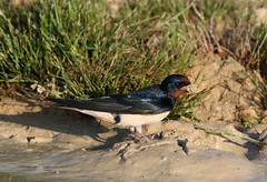 Barn Swallow with mud