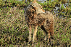 Wet Hunting (Team Hymas) Tags: coyote wet washington hunting ridgefieldwildliferefuge teamhymas