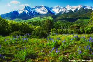 Lupines in Springtime