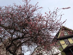 Walk down Pender Street (jackjenjo) Tags: vancouver spring chinatown dragon main chinese historic cherryblossoms hastings strathcona pender keefer uploaded:by=flickrmobile flickriosapp:filter=nofilter