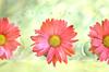 daisy chain (Laurarama) Tags: nikkor50mm14ai nikond7000 laurarama odchighkey