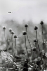 art? (-Maddox-) Tags: flowers wild summer art film nature garden 50mm mono dof olympus seeds canvas poppies growing ilford