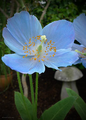 Himalayan Blue Poppy (shebicycles) Tags: blue pittsburgh poppy meconopsis phippsconservatory himalayanbluepoppy