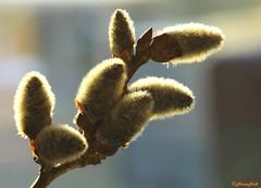 spring is in the air (1) (HansHolt) Tags: spring weide willow catkin printemps chaton wilg salix voorjaar frhjahr saule wilgenkatjes canoneos6d bltenktzchen