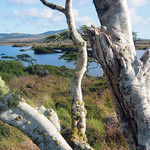 "Bog Road Trees <a style=""margin-left:10px; font-size:0.8em;"" href=""http://www.flickr.com/photos/89335711@N00/8596215342/"" target=""_blank"">@flickr</a>"