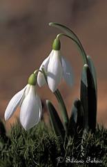 ..Bucaneve.. (silvano fabris) Tags: flowers nature natura fiori bucaneve