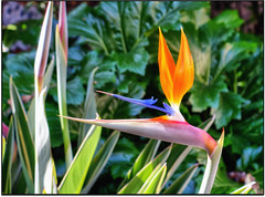 The First... (scrapping61) Tags: stilllife flower feast birdofparadise mygarden legacy tistheseason masterclass swp 2013 forgottentreasures artdigital greenscene scrapping61 bestgallery covertpainters daarklands trolledproud trollieexcellence exoticimage pinnaclephotography netartii