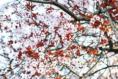 Spring (denise.scaleia) Tags: flowers flower tree love primavera nature spring nikon natural fiori d3000