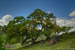Old Oak Again (sierrasylvan) Tags: california sky foothills tree green nature clouds canon fence spring oak sigma adobe vivitar manfrotto valleyoak solanocounty canoneos50d manfrotto190xprobtripod lightroom3 fieldfence zeikos vacamountains photomatixpro4 adobephotoshopcs5 adobebridgecs5 sigma1770mmf2845dcmacrolens zeikoscpl vivitarwirelessshutterreleasevivrc200 manfrottobasicpantilthead coastalfoothills