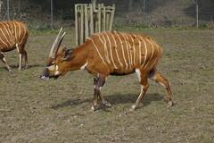 Bongo (Rovers number 9) Tags: uk zoo minolta sony bongo lancashire april blackpoolzoo a65 2013 minoltaaf28135mmf445 sonya65