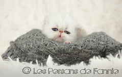 Les Persans de Fannie (Les Persans De Fannie) Tags: cats pets love cat persian chats kitten chat chinchilla bebe animaux naissance fannie tendre chaton chatons calin persan