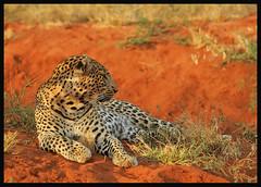 Tsavo Leopard (Rainbirder) Tags: kenya ngc npc africanleopard pantherapardus tsavowest pantheraparduspardus naturesharmony rainbirder