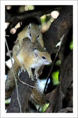 Mating Ground Squirrels (Nuwan Gomis) Tags: africa botswana southernafrica africansafari animalportraits 2013 chobenp thewildlife canonefs55250is natureandphotography canoneos550d