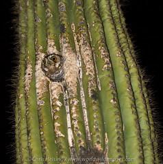 Elf Owl (Chris Heising) Tags: arizona cactus bird nature nocturnal desert wildlife elf owl pygmy saugaro