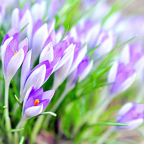 wave of crocus
