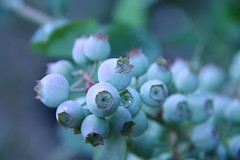 Blueberry Pie..soon (reed photo) Tags: blueberry blueberries unripe treesearchfarms