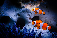 Finding Nemo - Hled se Nemo (David Doua) Tags: ocean sea fish water coral swimming swim movie 50mm nikon underwater finding nemo 26 clown father dive son clownfish reef marlin explored d7000