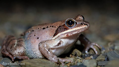 Wood Frog (Rana sylvatica) (DaveHuth) Tags: ny amphibian frog houghton animalia vernalpool anura amphibia ranidae woodfrog chordata ranasylvatica athleticfield lithobates taxonomy:class=amphibia taxonomy:order=anura taxonomy:family=ranidae taxonomy:kingdom=animalia taxonomy:phylum=chordata lithobatessylvaticus taxonomy:species=sylvaticus taxonomy:binomial=ranasylvatica taxonomy:binomial=lithobatessylvaticus taxonomy:genus=lithobates taxonomy:common=woodfrog