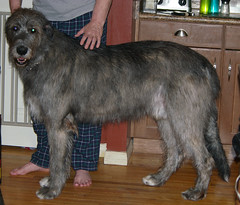 Ri March 17 2013 (Lynda IW) Tags: wolfhound